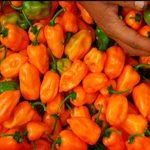 Productores esperan producir 200 toneladas de chile habanero
