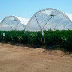 La agricultura protegida podría contribuir a regular precios ante heladas y sequía
