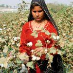Desarrolla Pakistán algodón resistente a virus