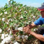 Alistan cosecha de algodón