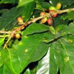 Antracnosis y roya merman producción de café en Chiapas