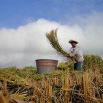 Arroceros de Morelos sufren pérdidas millonarias