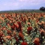 Aumentará producción de amaranto