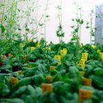 Descubren nueva función de vitamina B6 en las plantas