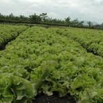 Baja producción de las hortalizas