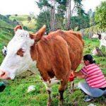 Preocupa a lecheros colombianos bajo costo del producto