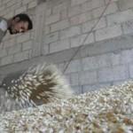 Buscan apoyos al campo tamaulipeco para que aporte maíz