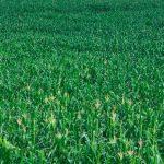 Solicitarán aumento para precio de maíz