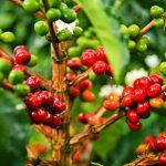 Aumentan producción de café cubano