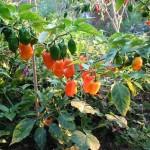Campesinas de Yucatán convierten en éxito proyecto agrícola