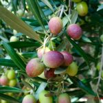 Capacitan a productores chimalhuacanos de aceitunas