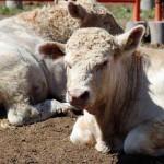 Capacitan a productores de ganado en zonas rurales