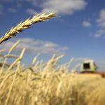 Cebada resistente a sequía