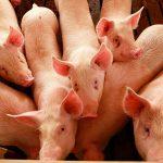 Promueven consumo de cerdo en España