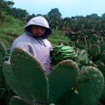 Produce IPN composta orgánica con desechos de nopal