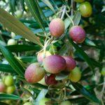 Efectos antioxidantes de cosmético obtenido de aceitunas