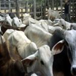 Crean en Brasil sistema electrónico de rastreo de ganado