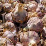 Aumenta producción de ajo mexicano
