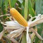Crecerá importación de maíz amarillo