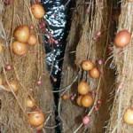 Cultivos de papa sin suelo producen la primera generación de semilla-base