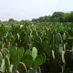 Desarrolla el INIFAP variedades mejoradas de granos y hortalizas