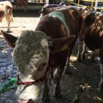 Donan sementales bovinos a ganaderos