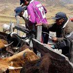 Campaña de dosificación a ganado vacuno en Perú