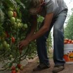 En Durango, reactivan invernaderos de tomate