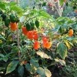 Entregan semillas de chile gratuitas