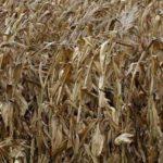 Evalúan impacto de la sequía en sector agropecuario de Chiapas