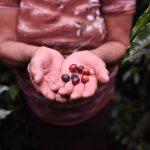 Fortalecen sector cafetalero en Colombia