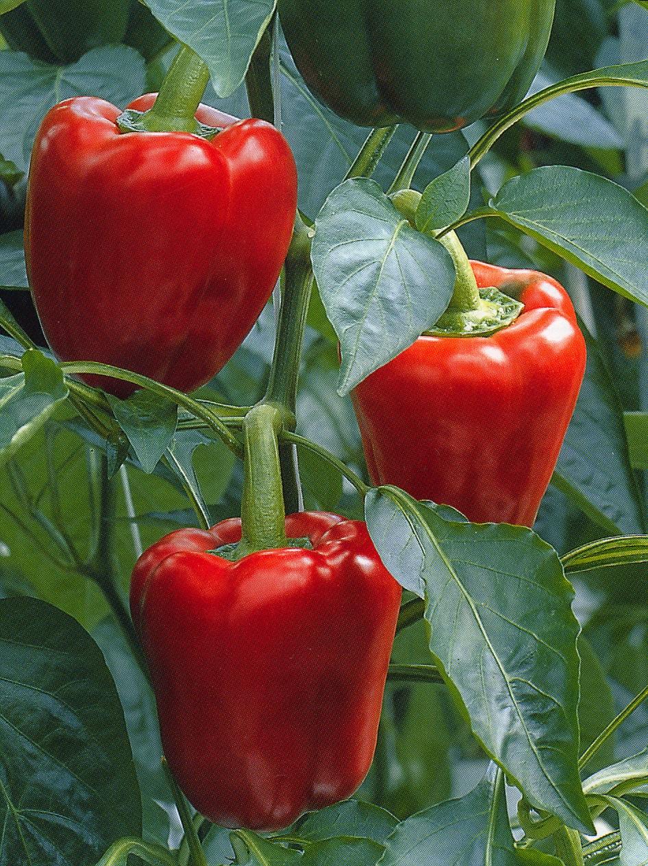 Producci n intensiva de pimiento en hidropon a 2000agro for Plantar pimientos y tomates