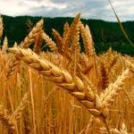 Identifican nueva ruta de fotosíntesis en la planta del trigo
