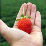 Quieren productores de EEUU frenar exportaciones de fresa