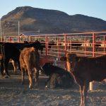 Impulsan apoyos para la ganadería potosina