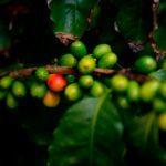 El genoma del café