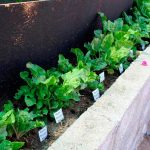 Producen hortalizas con agua de mar sin desalar