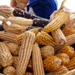 Incrementa comercialización de granos