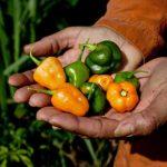 Inseguridad alimentaria mundial se concentra en zonas rurales: FAO