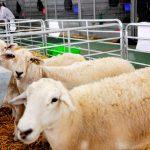 900 mdp para producción ovina y caprina