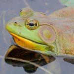 La rana, un anfibio comestible