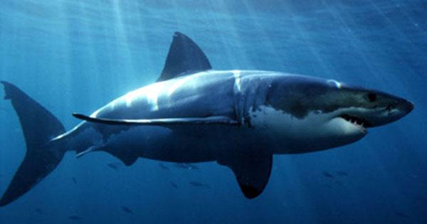 lafao-tiburones