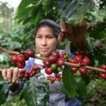 La OIC confía en que la subida de precios incentive la producción de café