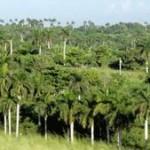 La palma real, una planta multifacética