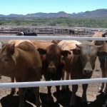 Lluvia beneficia bovinos en Aguascalientes