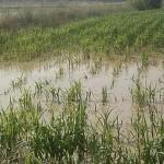 Lluvias dañan a 5 mil hectáreas de cultivos