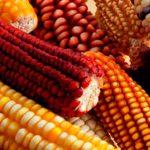 El maíz, de América para el mundo