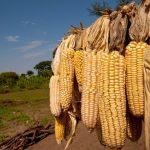El maíz en América del Sur