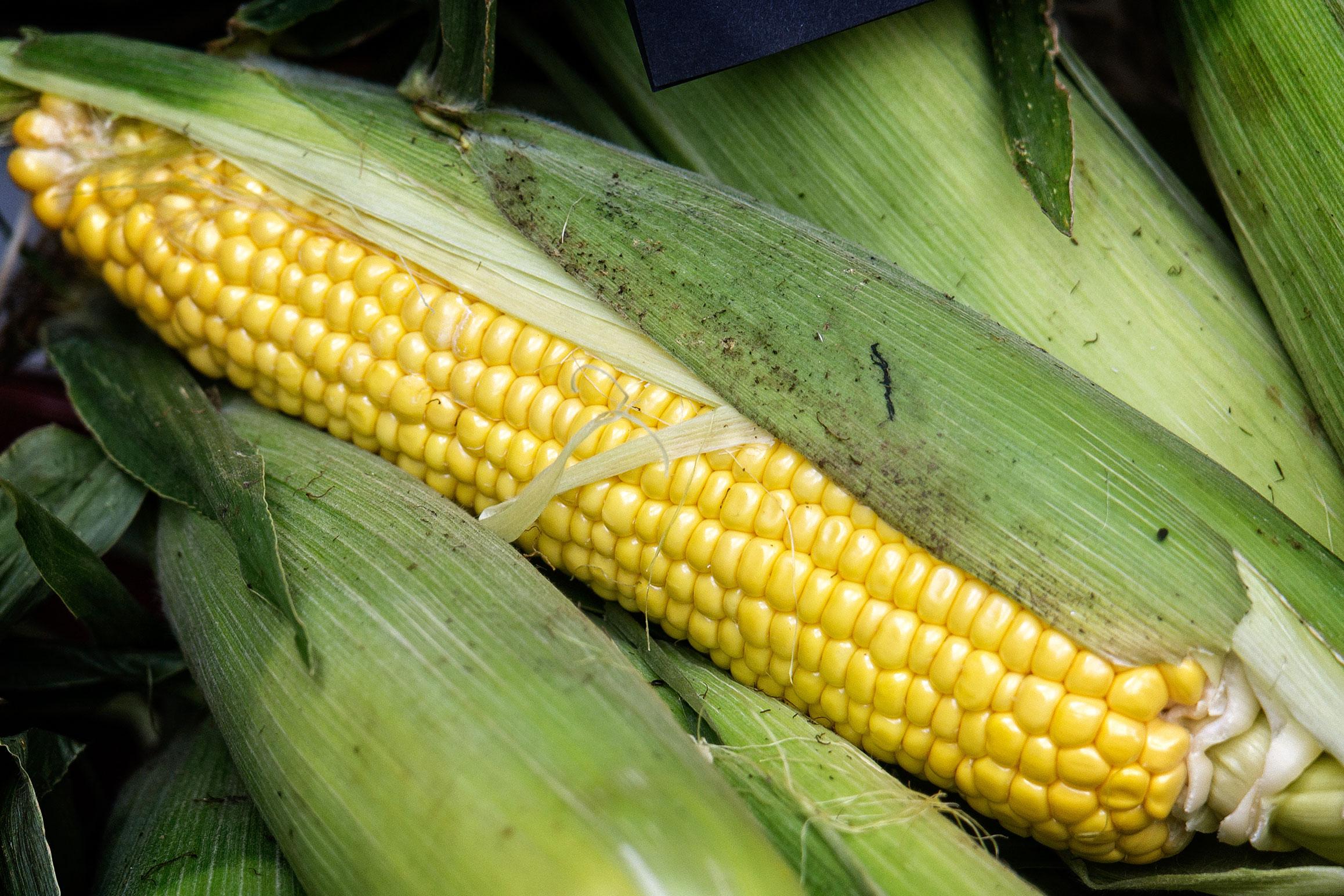 maiz-vscambio