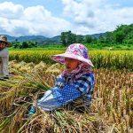 Maleza resistente de agricultura podría extinguirse